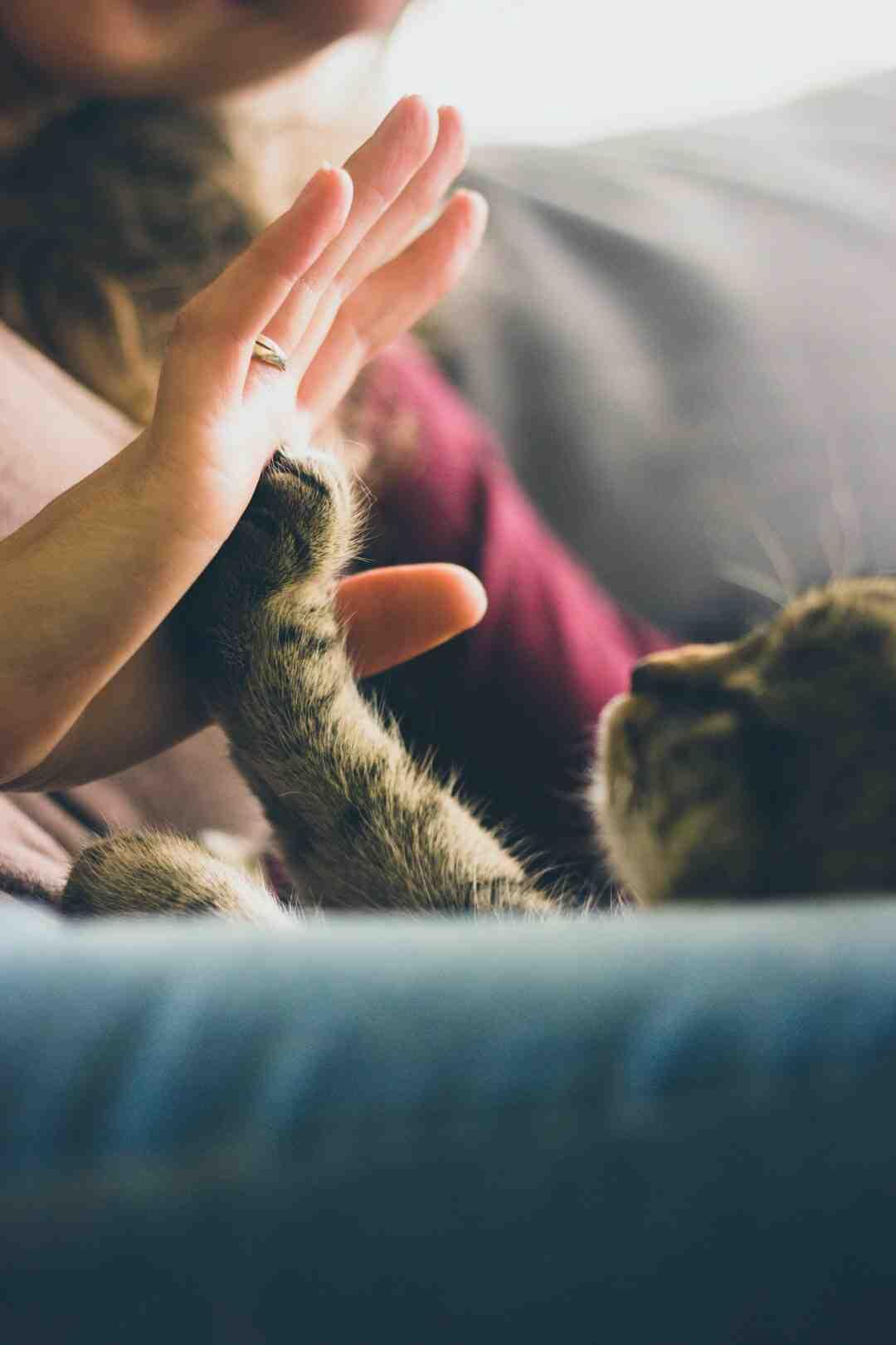 Comment démêler les poils d'un chat angora ?