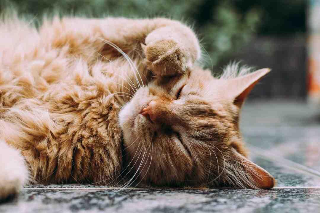 Comment endormir un chat en voiture ?